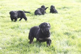 Foto 2 Russischer Schwarzer Terrier Welpen abzugeben