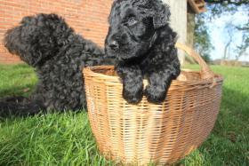 Foto 3 Russischer Schwarzer Terrier Welpen abzugeben