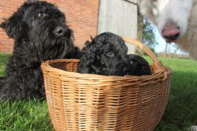 Foto 4 Russischer Schwarzer Terrier Welpen abzugeben