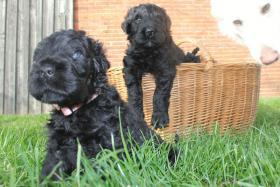 Foto 5 Russischer Schwarzer Terrier Welpen abzugeben