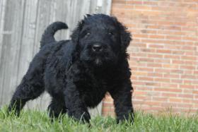 Foto 8 Russischer Schwarzer Terrier Welpen abzugeben