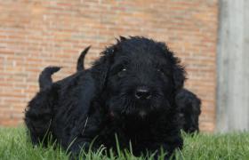 Foto 9 Russischer Schwarzer Terrier Welpen abzugeben