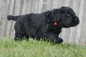 Foto 11 Russischer Schwarzer Terrier Welpen abzugeben