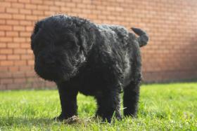 Foto 13 Russischer Schwarzer Terrier Welpen abzugeben