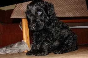 Foto 17 Russischer Schwarzer Terrier Welpen abzugeben
