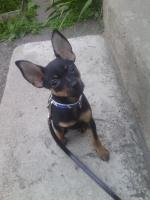 Foto 4 Russischer Toy-Terrier