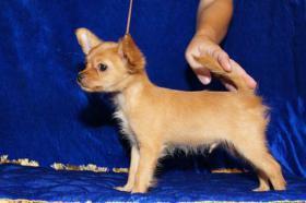 Russischer Toy Terrier Welpe