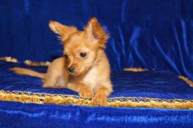 Foto 2 Russischer Toy Terrier Welpe
