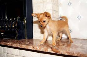 Foto 3 Russischer Toy Terrier Welpe