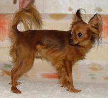 Foto 4 Russischer Toy Terrier Welpe