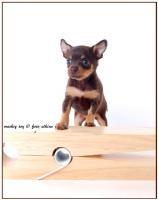 Foto 8 Russischer Toy Welpen , reinrassig,  kleinbleibend , intelligent  ( kein Prager Rattler, Chihua, Zwergpinscher)