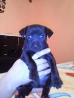 Foto 2 Russischer toy terrier Welpen