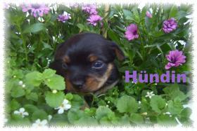 Foto 2 Russkij Toy - Yorkshire Terrier