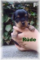 Foto 3 Russkij Toy - Yorkshire Terrier
