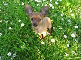 Foto 4 Russkiy Toy Terrier
