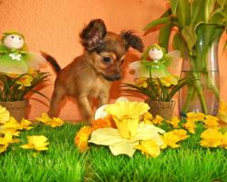 Foto 7 Russkiy Toy Terrier