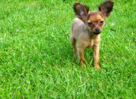 Foto 2 Russkiy Toy Terrier