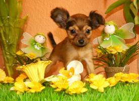 Foto 7 Russkiy Toy Terrier