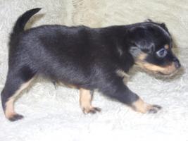Foto 4 Russkiy Toy Terrier Welpen Chihuahua Zwergpinscher Yorkshire