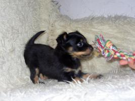 Foto 8 Russkiy Toy Terrier Welpen Chihuahua Zwergpinscher Yorkshire