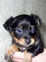 Foto 10 Russkiy Toy Terrier Welpen Chihuahua Zwergpinscher Yorkshire