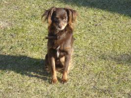 Foto 15 Russkiy Toy Terrier Welpen Chihuahua Zwergpinscher Yorkshire