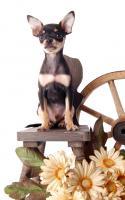 Russkiy Toy Terrier Welpen/ Mini-Hunde bis 28 cm & bis 3 kg