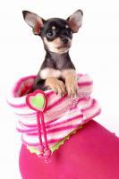 Foto 2 Russkiy Toy Terrier Welpen/ Mini-Hunde bis 28 cm & bis 3 kg