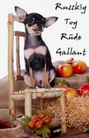 Foto 3 Russkiy Toy Terrier Welpen/ Mini-Hunde bis 28 cm & bis 3 kg