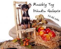 Foto 6 Russkiy Toy Terrier Welpen/ Mini-Hunde bis 28 cm & bis 3 kg