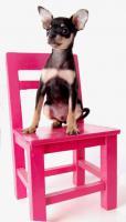 Foto 9 Russkiy Toy Terrier Welpen/ Mini-Hunde bis 28 cm & bis 3 kg