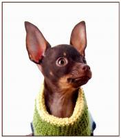 Russkiy Toy, Russischer Toy, Toy Terrier Welpen, ähn.Chihua, Prager Rattler