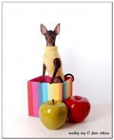 Foto 2 Russkiy Toy, Russischer Toy, Toy Terrier Welpen, ähn.Chihua, Prager Rattler