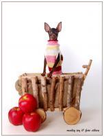 Foto 4 Russkiy Toy, Russischer Toy, Toy Terrier Welpen, ähn.Chihua, Prager Rattler
