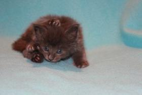 SENSATIONELLE Blue Solid MAINE COON BABIES