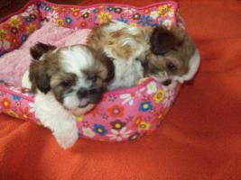 Foto 2 S��E SHIH-TZU BABYS