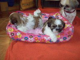 Foto 3 S��E SHIH-TZU BABYS