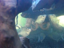S.Rhombeus (Schwarzer Piranha) Import aus Peru