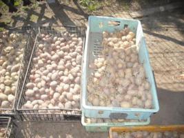 Foto 2 Saatkartoffeln