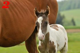 Foto 2 Sale of horses APH