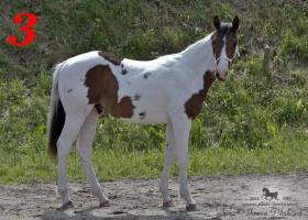 Foto 3 Sale of horses APH