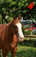 Foto 4 Sale of horses APH