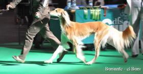 Saluki - Persischer Windhund