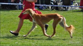 Foto 2 Saluki - Persischer Windhund