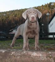 Sammy, ruhiger silberner Labrador Welpe-8 Wochen alt aus Familien Hausaufzucht