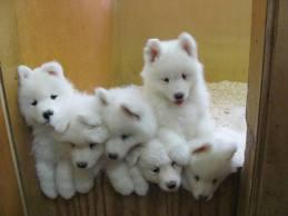 Foto 3 Samoyeden   Welpen zu verkaufen
