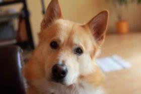 Foto 2 Sanfter, gro�er Traumhund abzugeben !