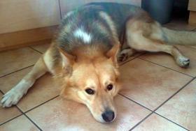 Foto 3 Sanfter, gro�er Traumhund abzugeben !