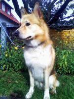 Foto 5 Sanfter, gro�er Traumhund abzugeben !