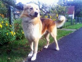 Foto 6 Sanfter, gro�er Traumhund abzugeben !